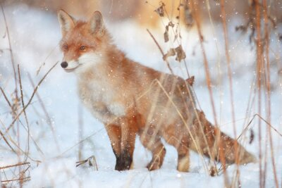 Fototapet rödräv i vinter skog Pretty