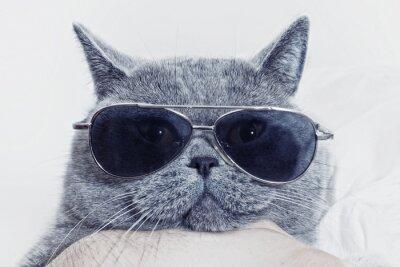 Fototapet Rolig mynningen på grå katt i solglasögon