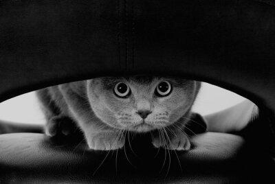 Fototapet Rolig skotsk katt med stora runda ögon tittar genom ett hål (i svart och vitt, retrostil)