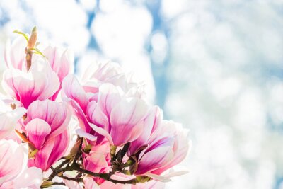 Fototapet rosa blomma magnolia