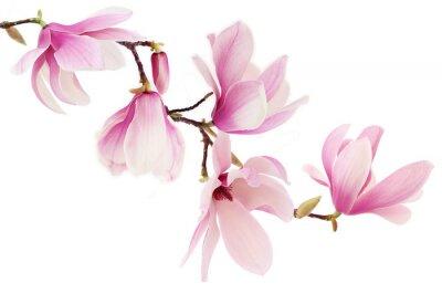Fototapet Rosa fjäder magnolia blommor gren