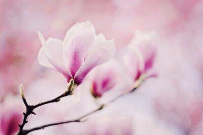 Fototapet rosa magnolia