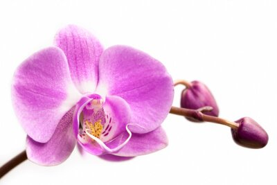 Fototapet Rosa orkidé på en vit bakgrund. Orkidé isolerad.