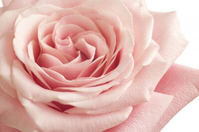 Fototapet rosa ros närbild