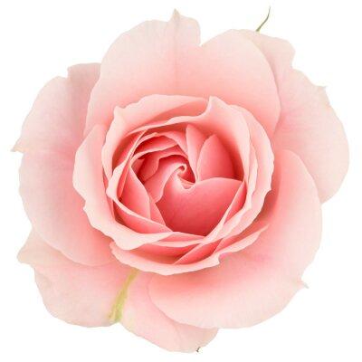 Fototapet Rosa ros närbild, isolerad på vitt