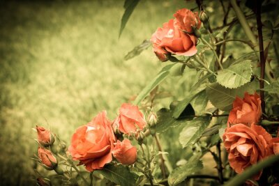 Fototapet Rosor i trädgården. Gamla stiliserad bild.