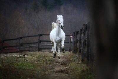 Fototapet Running vit häst