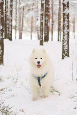 Fototapet Samojed hund vistas i en snöig skog