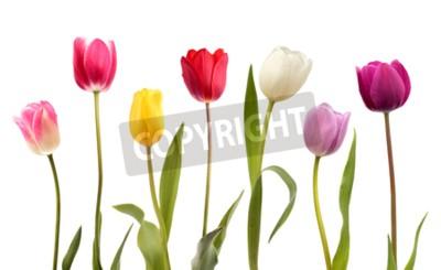 Fototapet Sats med sju olika färg tulpanblommor isolerade på vit bakgrund
