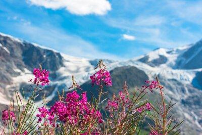Fototapet Schweiziska APLs med vilda rosa blommor