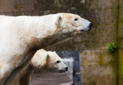 Fototapet se isbjörnar
