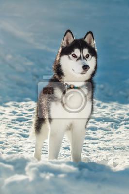 Fototapet Siberian husky med bruna ögon i snön