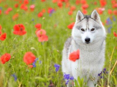Fototapet Siberian Husky - vallmoblommor