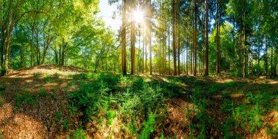 Fototapet Skog med gamla träd och sol, som lyser en clearing