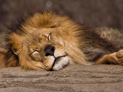 Fototapet Sleeping Lion