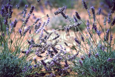 Fototapet Slut upp av lavendel fält. Oskärpa Filtrerad Shot med selektiv