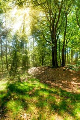 Fototapet Solen strålar bryter igenom trädtopparna i skogen