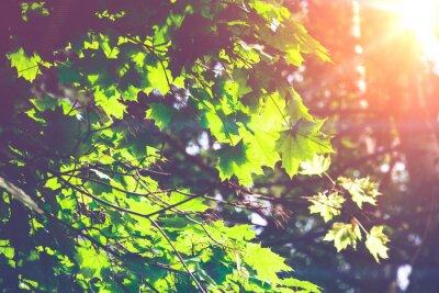 Fototapet Soliga Gröna Maple Leaves