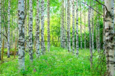 Fototapet Sommarbjörkskogssikt från Sotkamo, Finland.