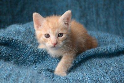 Fototapet Söt liten kattunge på blå filt bakgrund