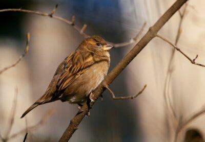Fototapet sparrow sitter på en gren