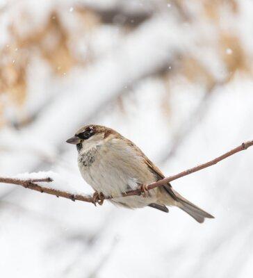 Fototapet Sparrow winter nature