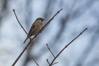 Fototapet Sparvar perching på en gren.