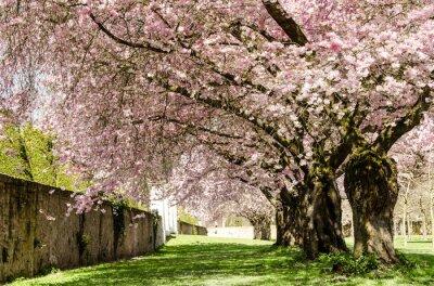 Fototapet Spring Dream: Japanska körsbär blommar :)