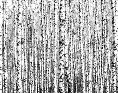 Fototapet Spring stammar björkar svart och vitt