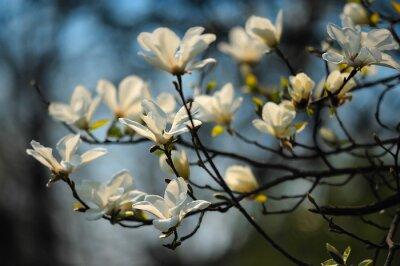 Fototapet Spring träd i blommor, magnolia