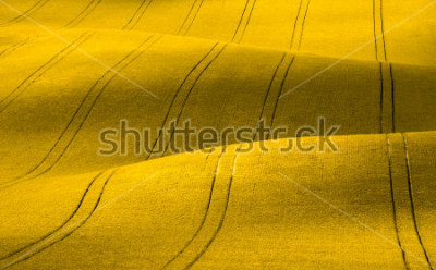 Fototapet Spring Wavy yellow rapeseed field with stripes and wavy abstract landscape pattern. Corduroy summer rural rape landscape.Yellow moravian undulating fields of crops.Yellow Background texture