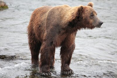 Fototapet stående björn, Katmai