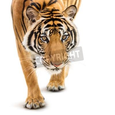 Fototapet Stalking ung siberian tiger isolerade på vit bakgrund
