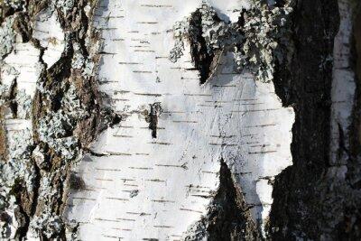 Fototapet Stammen av en björk