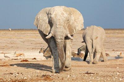 Fototapet Stor afrikansk elefant (Loxodonta africana) tjur täckt av lera, Etosha National Park, Namibia.