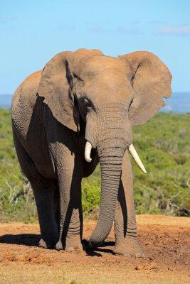 Fototapet Stor afrikansk elefant tjur (Loxodonta africana), Addo Elephant National Park, Sydafrika.