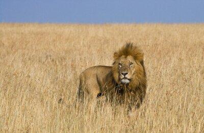 Fototapet Stor lejon i savannen. Nationalpark. Kenya. Tanzania. Maasai Mara. Serengeti. En utmärkt illustration.