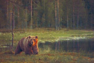 Fototapet Stor male björn gå i mossen vid solnedgången