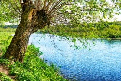 Fototapet Stora gamla träd på älvstranden