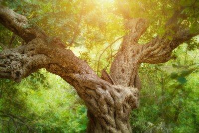 Fototapet Stora träd i skogen