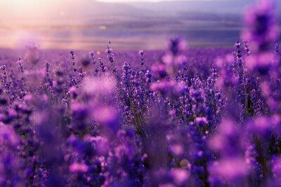 Fototapet suddig sommar bakgrund av vilda gräs och lavendel