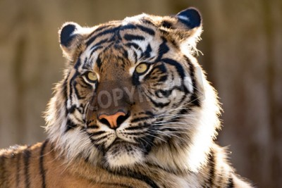 Fototapet Sumatran tiger (Panthera sumatrae) är en sällsynt tigersubspeciesen som bebor den indonesiska ön Sumatra