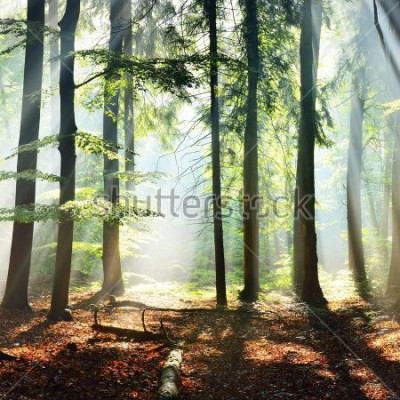 Fototapet Sun rays in a fog in a misty morning green forest. Osnabruck, germany