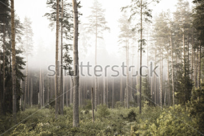 Fototapet sun rising in mist covered forest. sun rays in fog with low visibility - vintage retro look