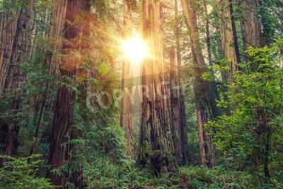 Fototapet Sunny Redwood Forest i norra Kalifornien, USA. Skogs tema.