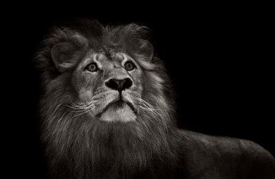 Fototapet svart och vitt lion