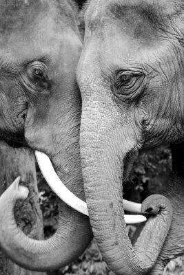 Fototapet Svart och vitt närbild foto av två elefanter som tillgiven.