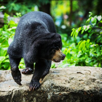 Fototapet svartbjörn