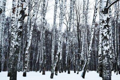 Fototapet syn på snöiga björkskog på vintern
