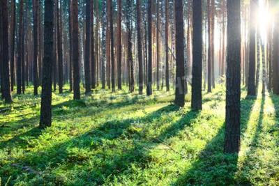 Fototapet Tidigt på morgonen med solen i tallskog